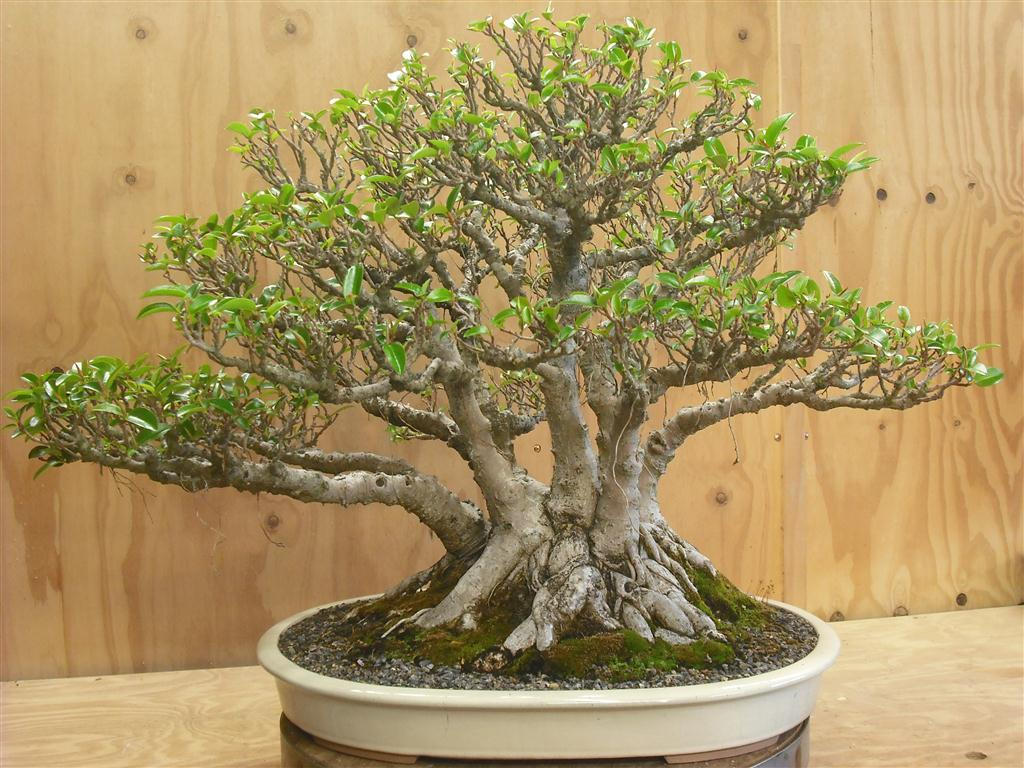 Wiring Bougainvillea Bonsai Nice Place To Get Diagram Wisteria Multi Trunk Fig A Journey Hibiscus