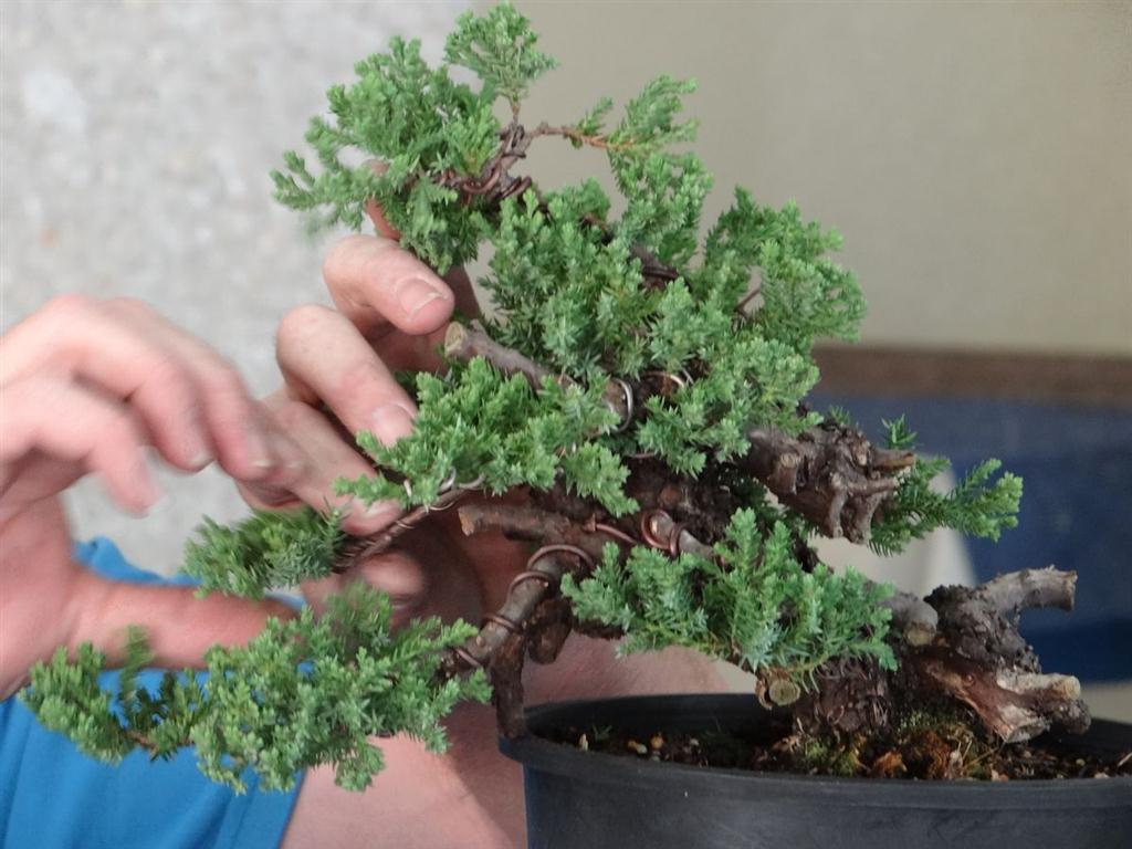 Juniper air layer first style and carve a bonsai journey for How to make an olive tree into a bonsai