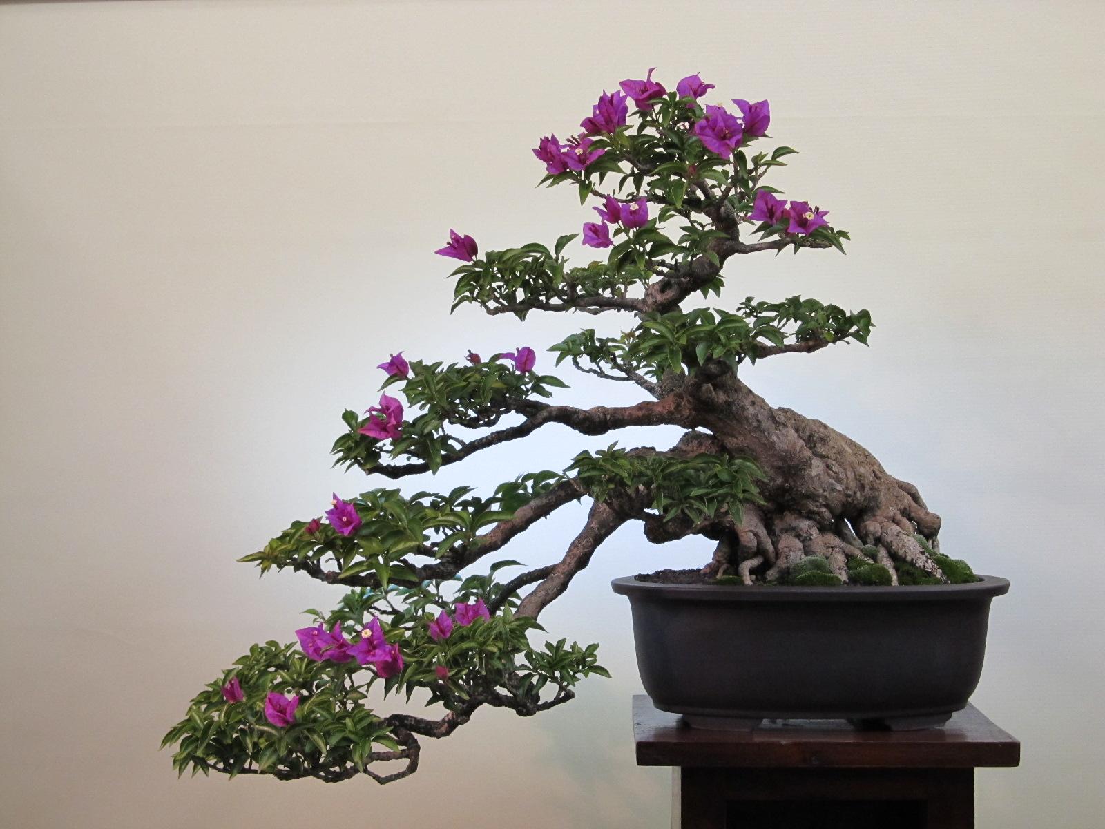 1925 bougainvillea re vision a bonsai journey for Bougainvillea bonsai prezzo