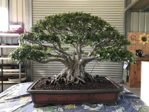 Beautiful Fig at Fraser Coast Bonsai Group