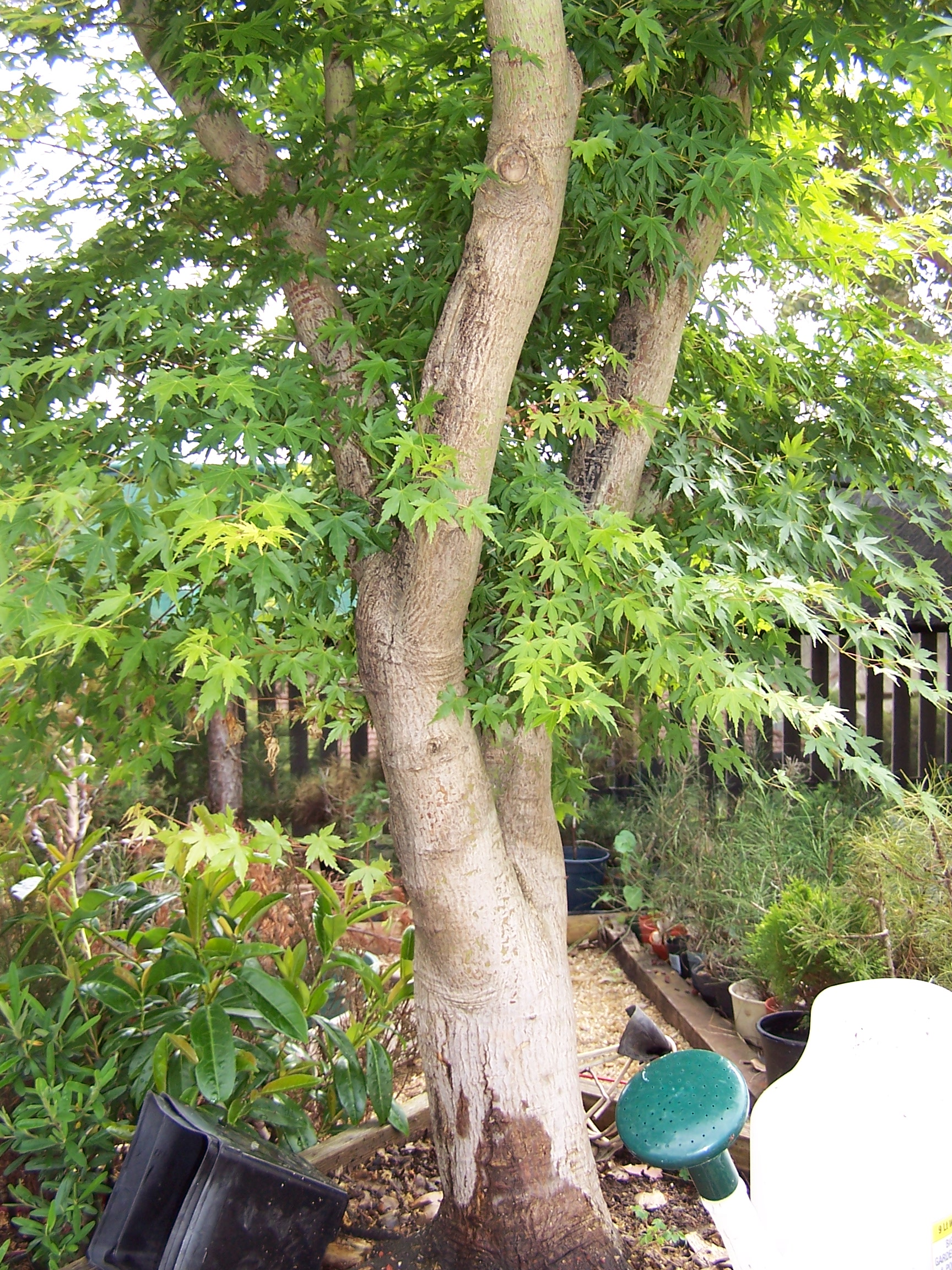 Air Layering a big Japanese Maple | Alpineart's Blog