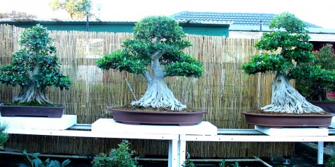 Bonsai South Nursery