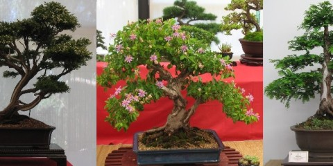 Campbelltown Bonsai Inc