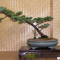 Bonsai Study Group