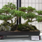 Toowoomba Bonsai Group Inc