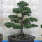 Mornington Peninsula Bonsai Society Inc