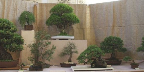 Bendigo Bonsai Club Inc
