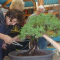 Mackay Bonsai Society