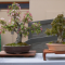 Albury Wodonga Bonsai Society