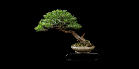Victorian Native Bonsai Club Inc