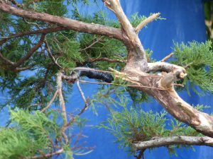 Covered this one with tape to keep the moisture in longer. It can be removed in a month or 2 on these branches.