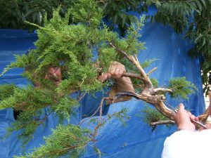 An extra pair of hands to twitch the wire as you bend to maintain tension. Take your tree to physio. Bend and relax, then bend a little more and relax, then bend a little more.