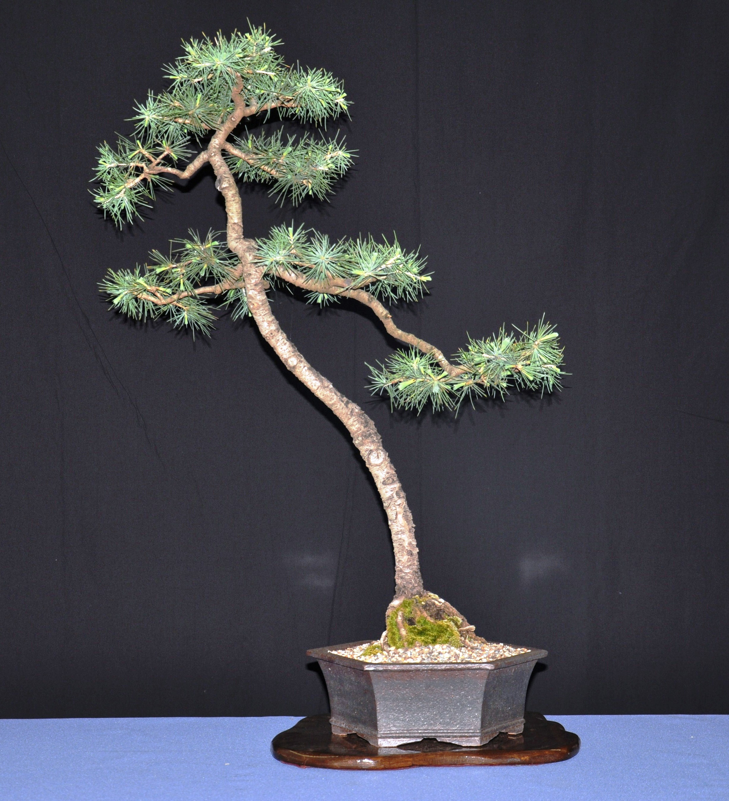 August 2011 wattos bonsai blog for Literati bonsai gallery