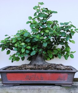 Photo 30 January 2013 showing bonsai in full leaf.