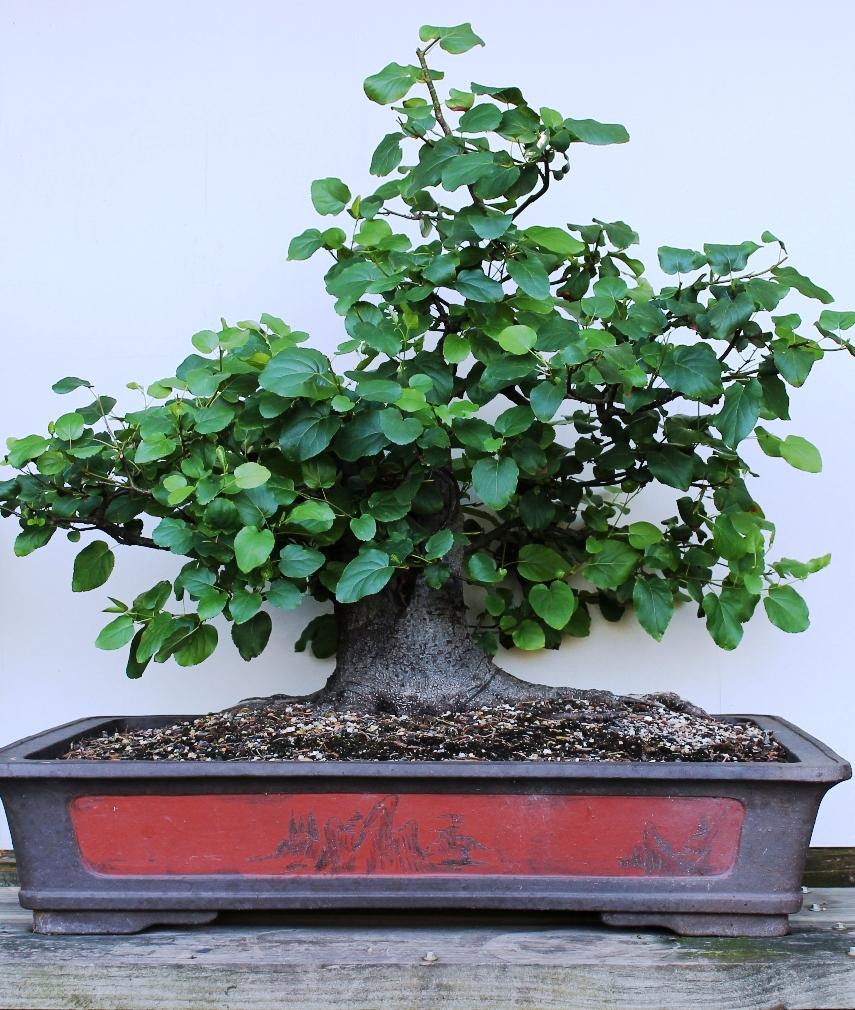 Italian alder wattos bonsai blog for Bonsai italia