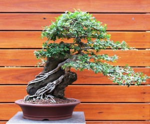 Root over rock Chinese Elm