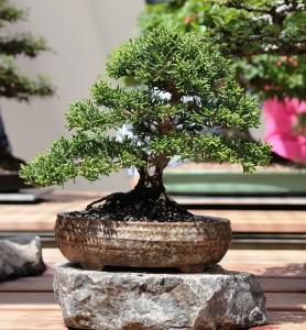 Chinese juniper - shohin