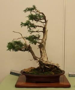 AABC Convention  003 Golden Chinese Juniper