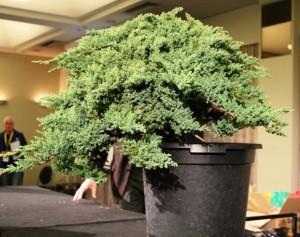 Juniper procumbens
