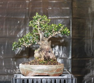 Another bonsai in a different pot