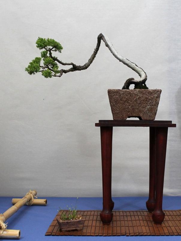 Goulburn bonsai society exhibition 2013 wattos bonsai blog for Literati bonsai gallery