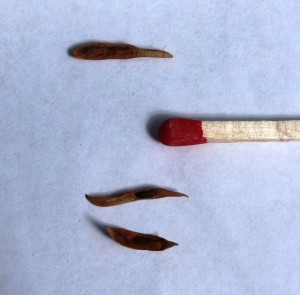 A pod, a couple of seeds and a match for size comparison