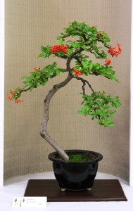 Pyracantha - in berry
