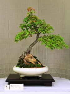 """Trident maple """"root-over-rock"""""""