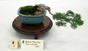 American white cedar