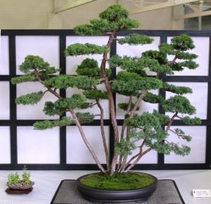 Juniper chinensis