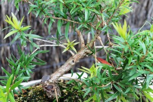 A few branches off the bottlebrush, but it will be fine.