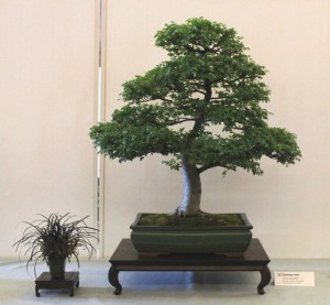 Ulmus Parvifolia. Chinese Elm about 20 years old