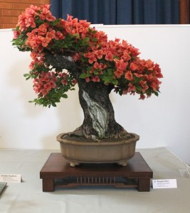 Bougainvillea globra about 32 years old