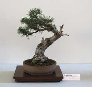 Pinus Sylvestris - Scots Pine about 25 years old