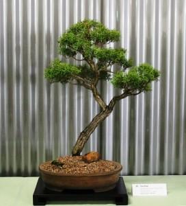 Leptospermum nitidum 'Cooper Sheen'