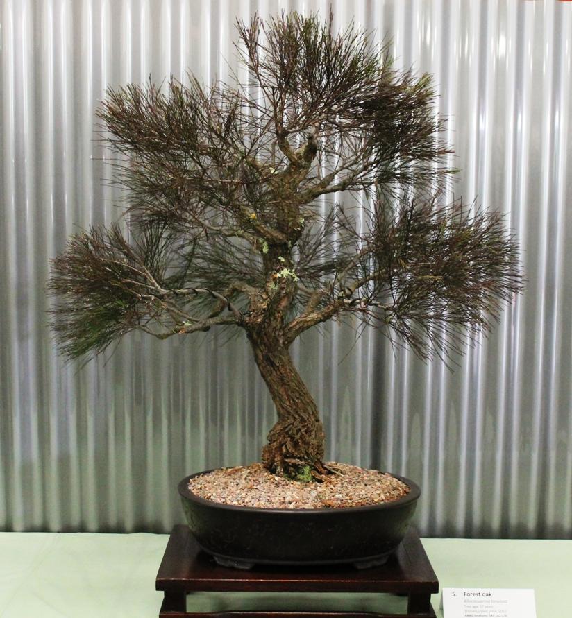 native plants as bonsai  u2013 exhibition 2015 pt2