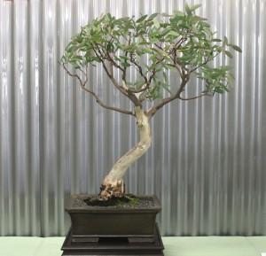 Eucalyptus mannifera