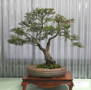 Baeckea - Sannantha pluriflora