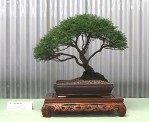 Baeckea - Sannantha plariflora