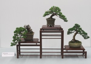 Shohin display of three junipers