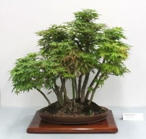 Japanese maple group