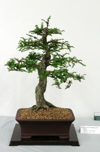 Montezuma or Mexican bald cypress