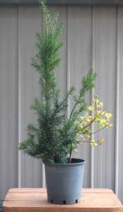 Yew stock plant with accompanying maple