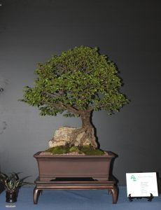 A root over rock Chinese Elm