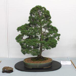 Juniper (Shinpaku)