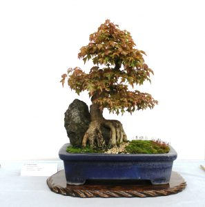 Trident Maple - root over rock