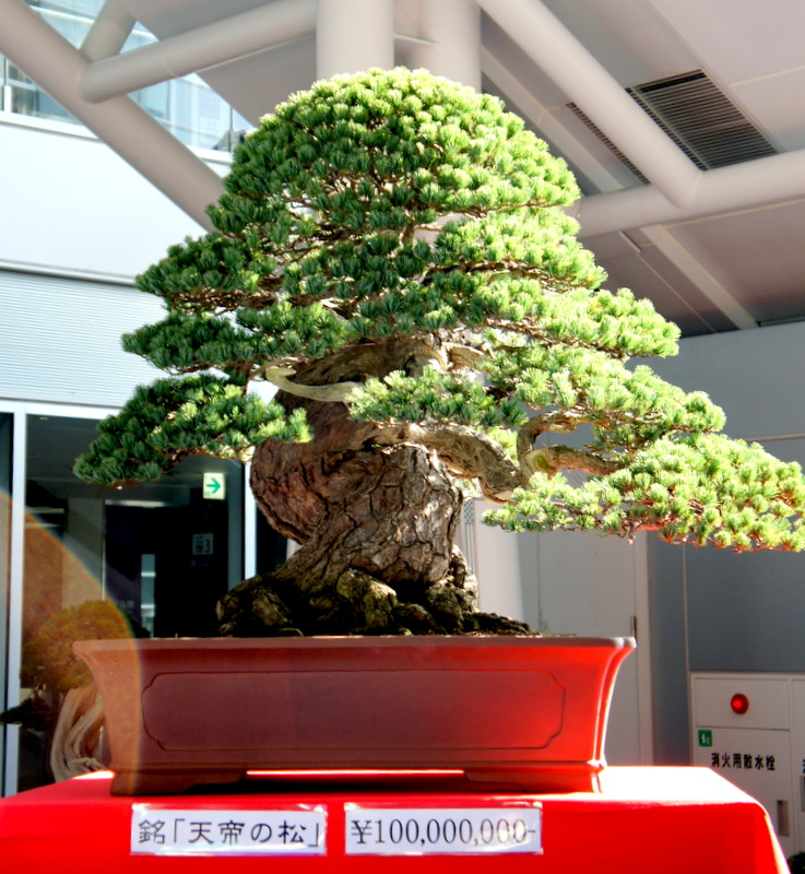bonsai newzealandteatrees bonsai blog page 2