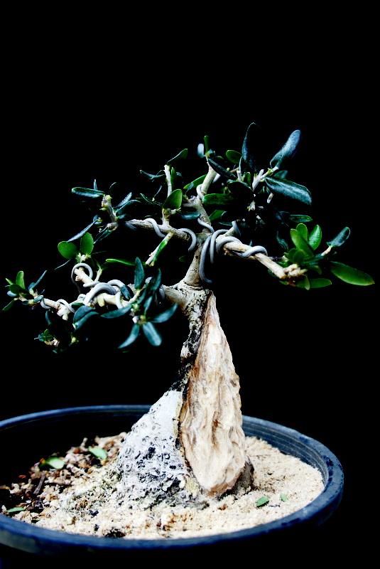 Newzealandteatrees bonsai blog a personal journey page 3 for How to make an olive tree into a bonsai
