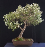 Leptospermum nitidum by Will IslandBonsai