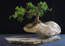 Leptospermum rupestre by Will IslandBonsai